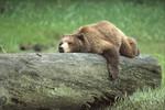 GrizzlyBear_RobinSilver_FPWC_2_HIGHRES.TIF