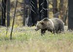 GrizzlyBear_Yellowstone_USFWS_FPWC_1.jpg