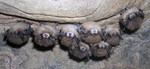 LittleBrownBats_WNS_NancyHeaslip_NewYorkDeptofEnvironmentalConservation_FPWC.tif
