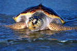 LoggerheadSeaTurtle_PicasaCreativeCommons_JosephAndFarideh_BY-ND_1.jpg