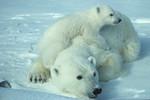 PolarBear_USFWS_FPWC_HIGHRES.tif