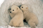 PolarBear_USFWS_FPWC.jpg