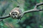 SpottedOwl_RobinSilver_2_FPWC_HIGHRES.TIF