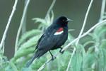 TricoloredBlackbird_USFWS_FPWC.tif