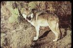 Wolf_AZFishAndGame_FPWC.jpg
