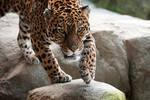 Jaguar_FlickrCommons_EricKilby_BY-SA.jpg