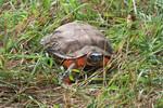Wood_Turtle_Glyptemys_insculpta_Diane_Baedeker_Petit_US_Dept_Agriculture_FPWC.JPG