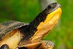 Blandings_Turtle_Emydoidea_blandingii_Maine_gov_FPWC.jpg