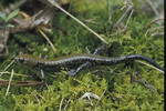Pigeon_Mountain_Salamander_plethodon_petraeus_Washington_Dept_Fish_Wildlife_FPWC.jpg