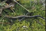 Pigeon_Mountain_Salamander_plethodon_petraeus_Washington_Dept_Fish_Wildlife_FPWC.jpg
