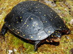 Spotted_Turtle_Clemmy_guttata_Mike_Rubbo_New_York_Dept_Environmental_Conservation_FPWC.JPG