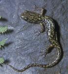 Green_Salamander_Aneides_aeneus_Pennsylvania_Fish_Boat_Commission_FPWC.jpg