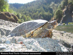 Western_Pond_Turtle_Actinemys_marmorata_on_beach_James_Bettaso_FWS_FPWC.jpg