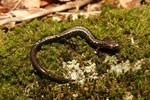 Peaks_of_Otter_Salamander_Plethodon_Hubrichti_C_2011_Timothy_Burkhardt_FPWC.jpeg