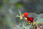 iiwi_scarlet_honeycreeper_Ludovic_Hirlimann_flickr_FPWC_OK_Media_Use.jpg