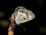 Miami_Blue_Butterfly_Cyclargus_thomasi_bethunebakeri_Bill_Bouton_Flickr_FPWC_OKforMediaUse.jpg