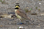 streaked_horned_lark_David_Maloney_USFWS_FPWC_Media_use_OK.jpg