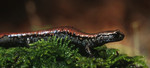 Oregon_Slender_Salamander_Batrachoseps_wrightorum_Steve_Wagner_FPWC_Media_Use_OK.jpg