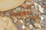 Obey_Crayfish_Female_Cambarus_Obeyensis_Roger_Thoma_FPWC.tif