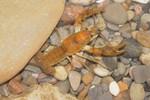 Obey_Crayfish_Male_Cambarus_Obeyensis_Roger_Thoma_FPWC.tif