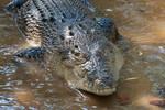 Australian_Crocodile_Flickr_Christian_Haugen_FPWC_Commercial_Use_Ok_.jpg