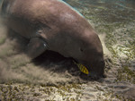 Dugong_Australia_EarthRace_Conservation_Flickr_FPWC_Commercial_Use_ok.jpg