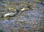 clear_lake_hitch_1_Lavinia_exilicauda_chi_Richard_Macedo_California_Dept_Fish_Game_FPWC.jpg