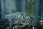 clear_lake_hitch_3_Lavinia_exilicauda_chi_Richard_Macedo_California_Dept_Fish_Game_FPWC.jpg
