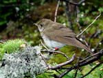 bicknell_thrush_T_B_Ryder_FWC_FPWC_Commerical_Use_Ok.jpg
