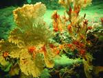 Alaska_primnoid_coral_w_brittle_stars_NOAA_FPWC_commercial_use_ok.jpg