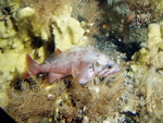 aleutian_islands_rockfish_and_coral_NOAA_FPWC_commercial_use_ok.jpg