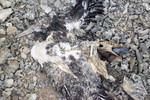 remains_of_dead_bird_with_plastic_tube_Mike_Alcalde_The_Clippeton_Project_and_GroupM_FPWC_media_use_ok.jpg