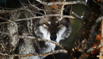 wolf_yellowstone_doublejwebers_flickr_FPWC_commercial_use_ok.jpg