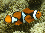 Amphiprion_percula_orange_clownfish_CoralCoE_Flickr_FPWC_commercial_use_ok.jpg