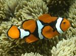 Amphiprion_percula_orange_clownfish_CoralCoE_Flickr_FPWC_commercial_use_ok.jpg