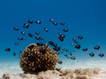 Dascyllus_albisella_Hawaiian_damselfish_USFWS_Pacific_FPWC_commercial_use_ok.jpg