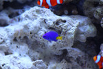 Microspathodon_chrysurus_yellowtail_damselfish_aquarist.me_flickr_FPWC_commercial_use_ok.jpg