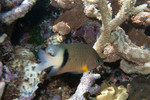 Plectroglyphidodon_dickii_Dicks_damselfish_Paul_and_Jill_Flickr_FPWC_commercial_use_ok.jpg
