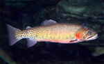 greenback_cutthroat_trout_EPA_FPWC_commercial_use_ok.JPG
