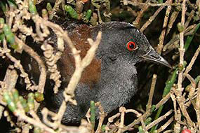 black_rail_Laterallus_jamaicensis_USGS_FPWC_commercial_use_ok.jpg