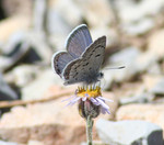 Mt_Charleston_Blue_Butterfly_Corey_KallstromUSFWS_FPWC_Commercial_Use_ok.jpg