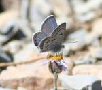Mt_Charleston_Blue_Butterfly_Corey_KallstromUSFWS_FPWC_Commercial_Use_ok.jpg