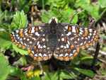 Taylors_checkerspot_butterfly_Ted_Thomas_USFWS_FPWC_Commercial_Use_ok.jpg