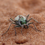 Coral_Pink_Sand_Dunes_Tiger_Beetle_Mark_Capone_USFWS_FPWC_Commercial_use_ok.jpg