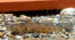cumberland_darter_conservationfisheriesintl_FPWC_commercial_use-Ok.jpg