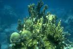 Dendrogyra_cylindrus_USGS_FPWC.gif