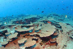 table_coral_Acropora_at French_Frigate_Shoals_James_Watt_NOAA_FPWC.jpg