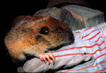 Mazama_pocket_gopher_Thomomys_mazama_USFWS_FPWC_commercial_use_ok.jpg