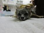 Gray_fox_WildCare_by_Melanie_Piazza_FPWC.jpg