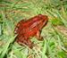 ca_redlegged_frog_Jamie_Bettaso_USFWS_FPWC_commercial_use_ok.jpg